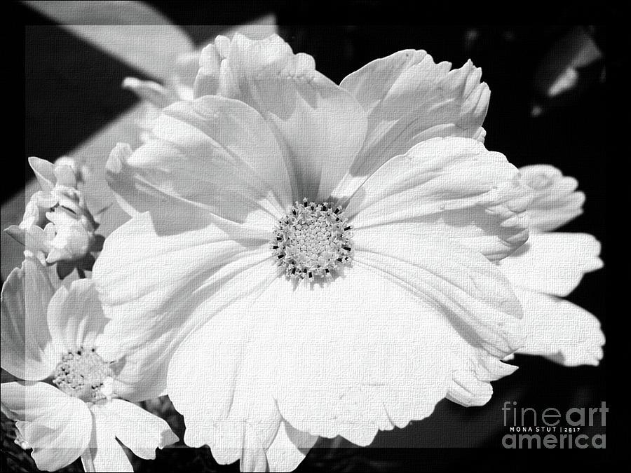 Cosmos Sun Flowers Bw Photograph