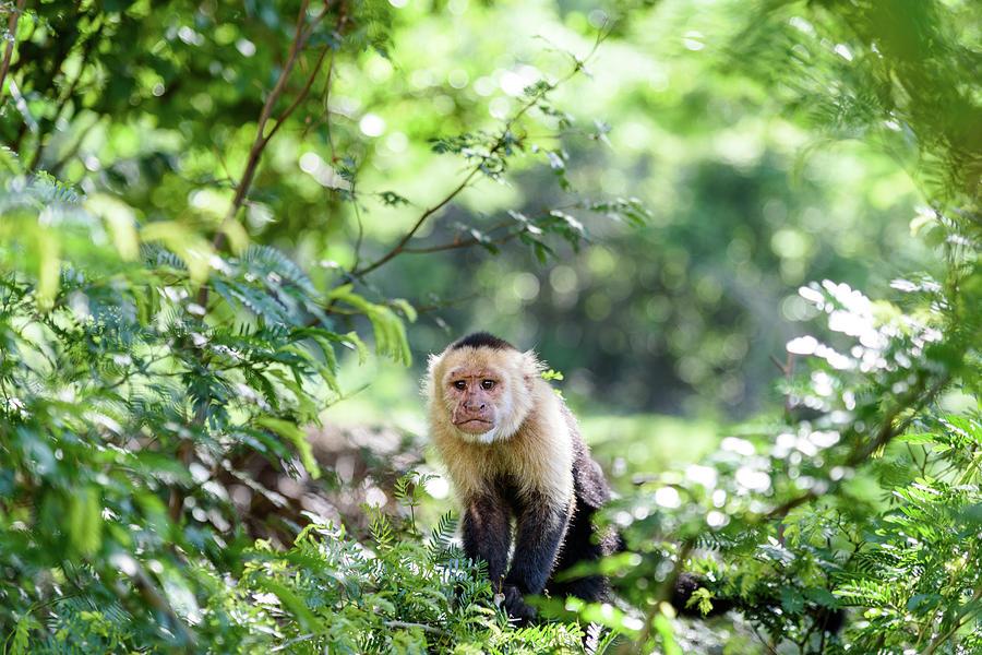 Wildlife Photograph - Costa Rica Capuchin Monkey II by Michael Santos