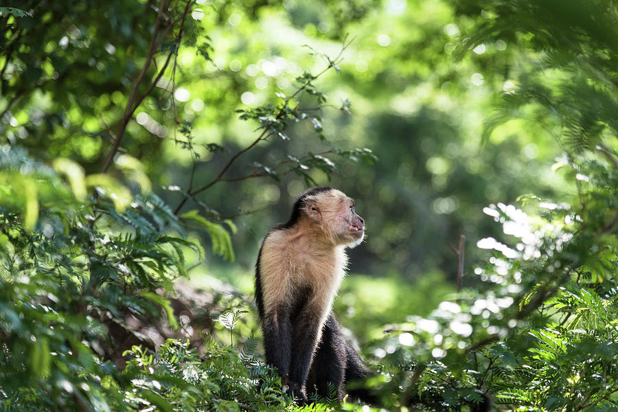 Wildlife Photograph - Costa Rica Capuchin Monkey by Michael Santos