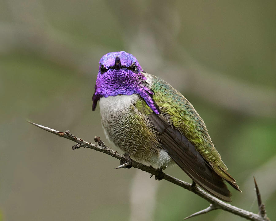 Costa's Hummingbird Photograph - Costas Hummingbird, Solano County California by Doug Herr