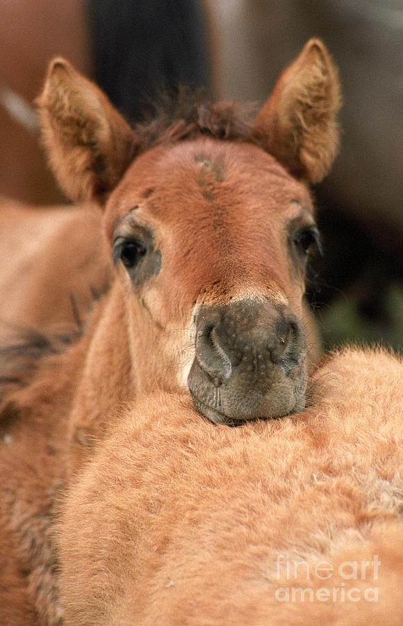 Foal Photograph - Cosy by Angel Ciesniarska