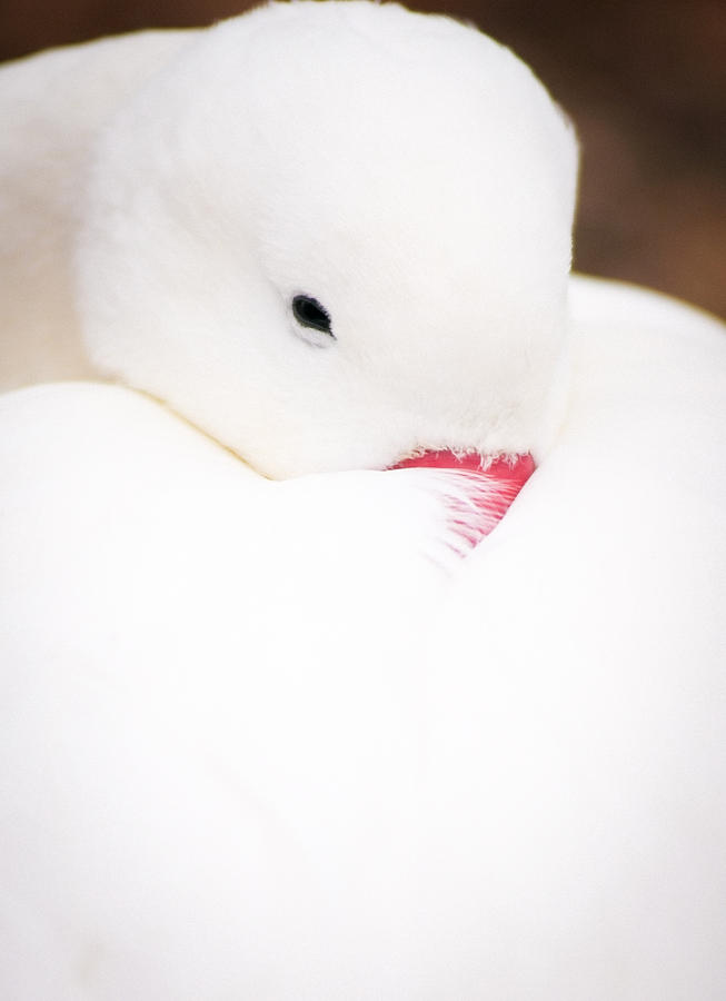 Animal Photograph - Cosy Duck by Andy Smy