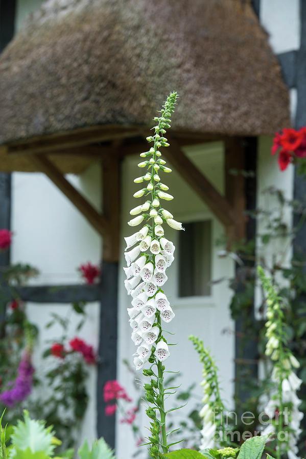 Foxglove Photograph - Cottage Garden Foxglove by Tim Gainey