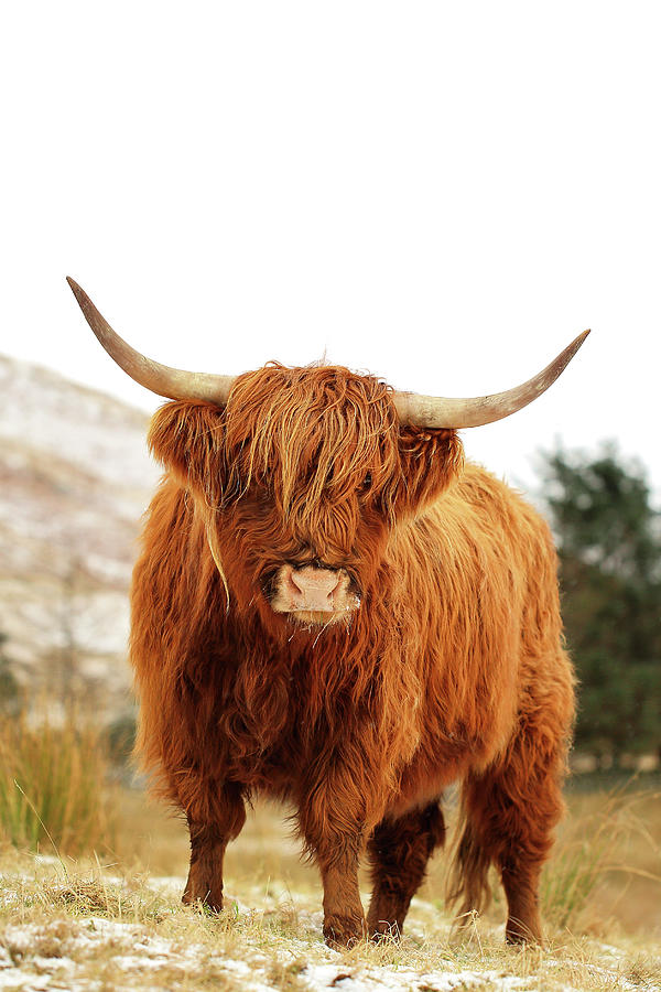 Highland Cattle Photograph - Scottish Highland Cow Loch Lomond by Grant Glendinning