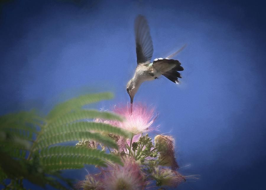 Black-chinned Hummingbird Photograph - Cotton Candy by Donna Kennedy