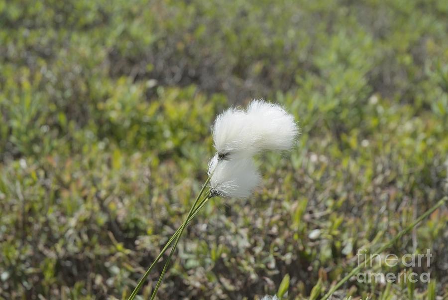 New England Photograph - Cotton Grass -eriophorum Virginicum- by Erin Paul Donovan