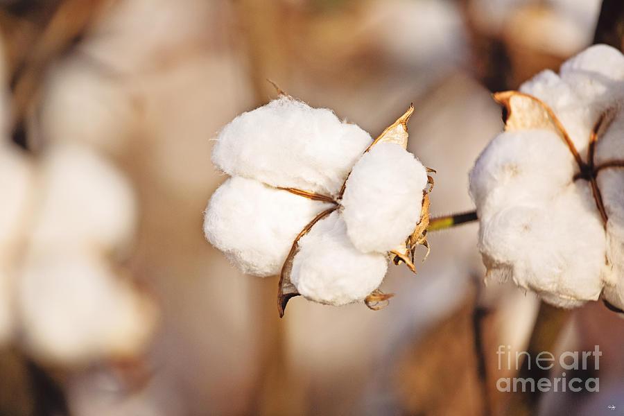Cotton Photograph - Cotton Plant by Scott Pellegrin