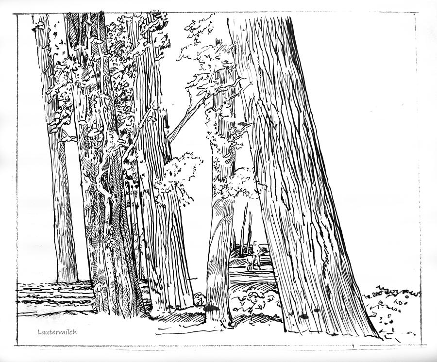 Ink Drawing Drawing - Cotton Woods Creve Coeur Path by John Lautermilch