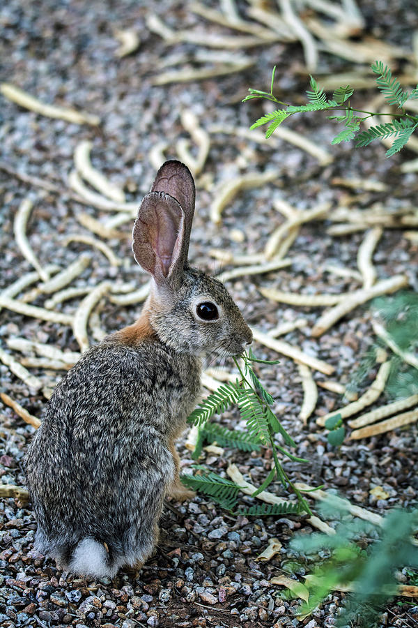 Cottontail Photograph - Cottontail Rabbit 4320-080917-1 by Tam Ryan