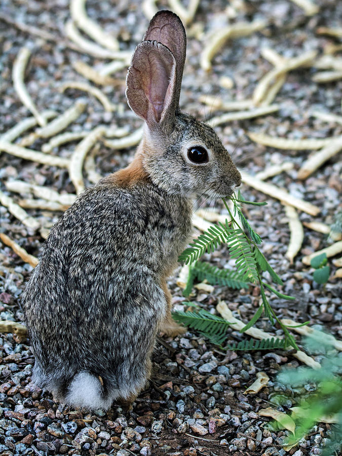 Cottontail Photograph - Cottontail Rabbit 4320-080917-2cr by Tam Ryan