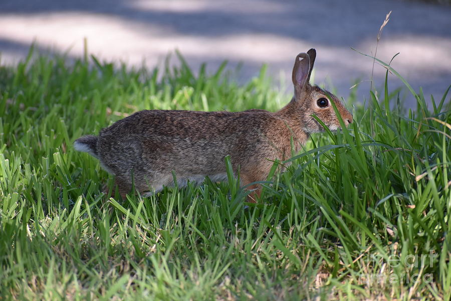 Cottontail Rabbit In My Front Yard Photograph by ...