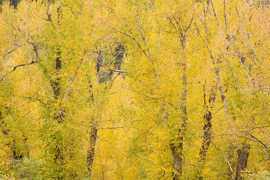 Yellow Photograph - Cottonwood Autumn Colors by James BO Insogna