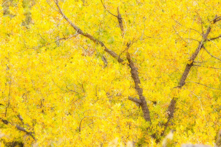 Trees Photograph - Cottonwood Colors  by James BO Insogna
