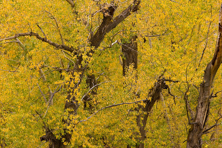 Autumn Photograph - Cottonwood Fall Foliage Colors by James BO Insogna