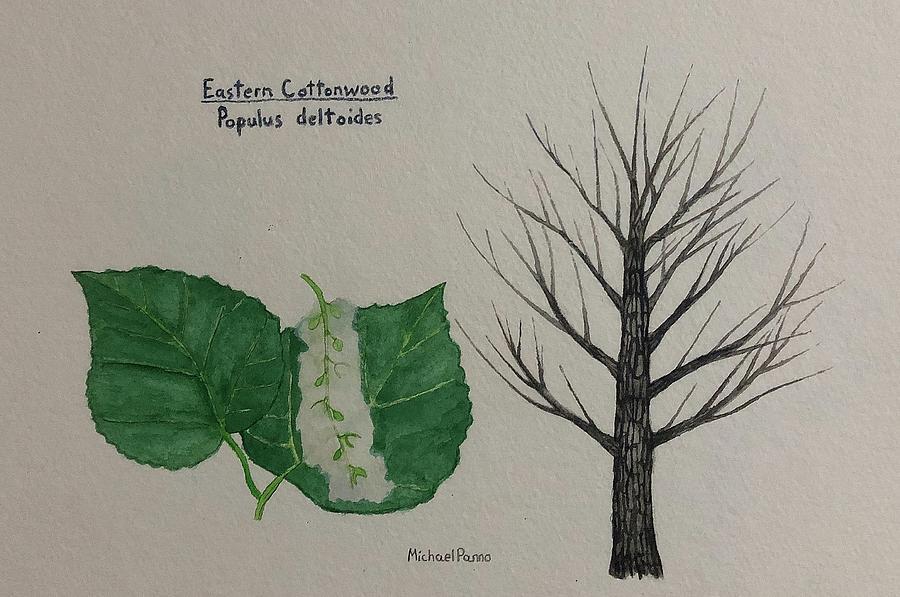 Cottonwood Tree Id Painting
