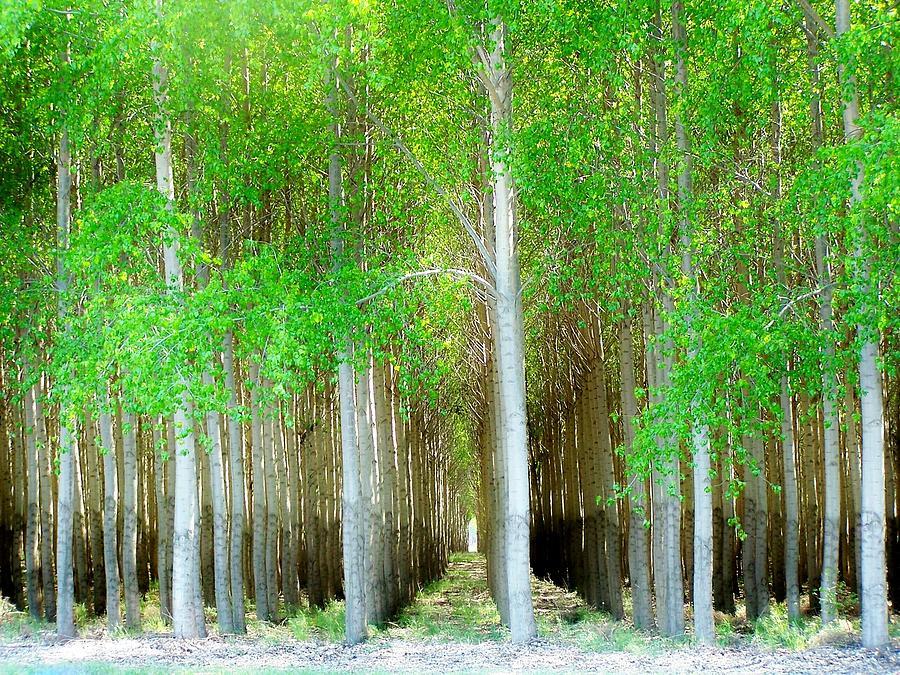 Trees Photograph - Cottonwood Trees by Terry Jones