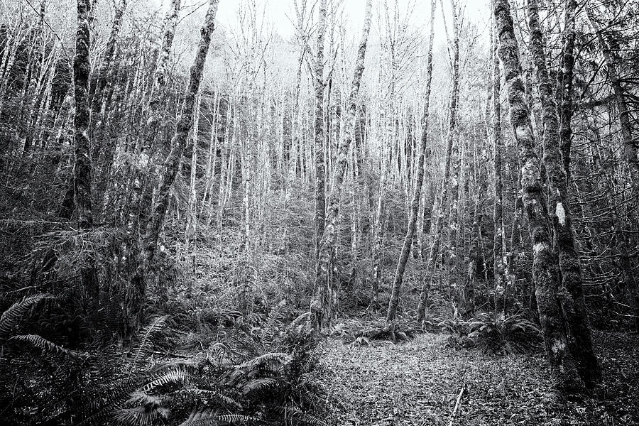 Cottonwoods In The Forest Photograph