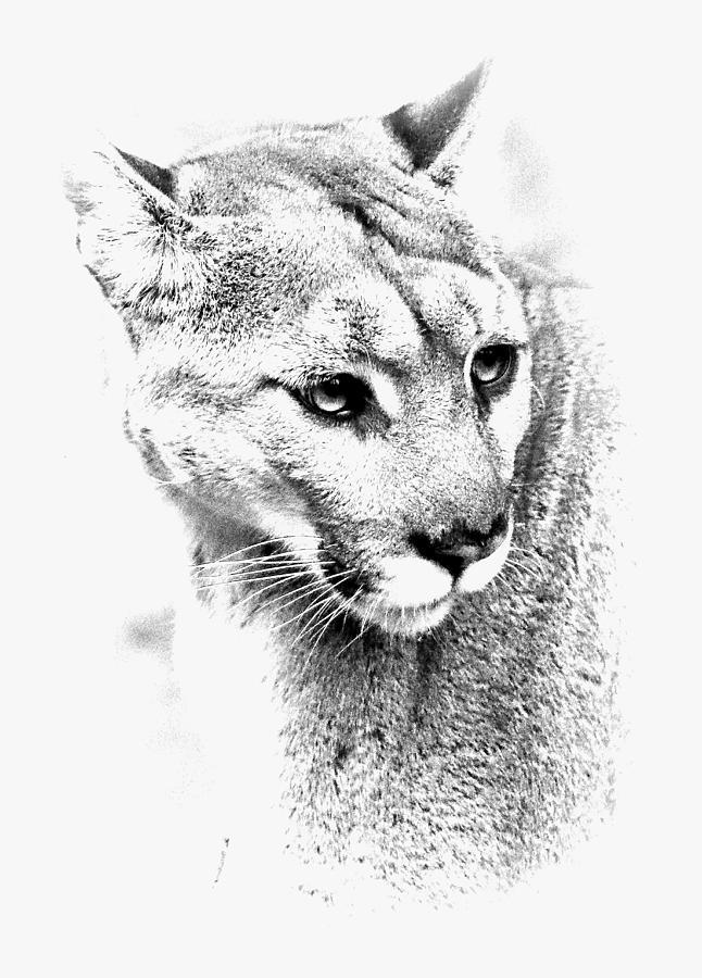 Cougar Bw II Photograph