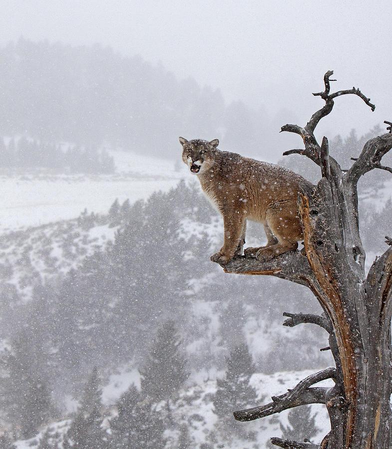 Cougar calling