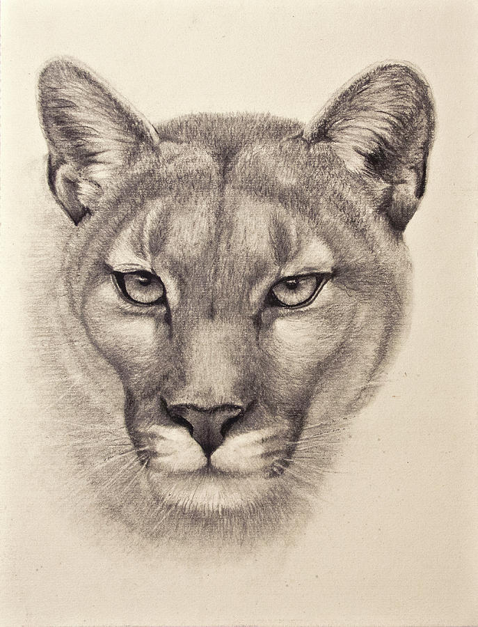 Cougar Face Line Drawing : Cougar drawing by cindy nowotny