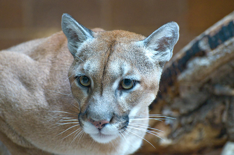 Cougar by Richard Henne