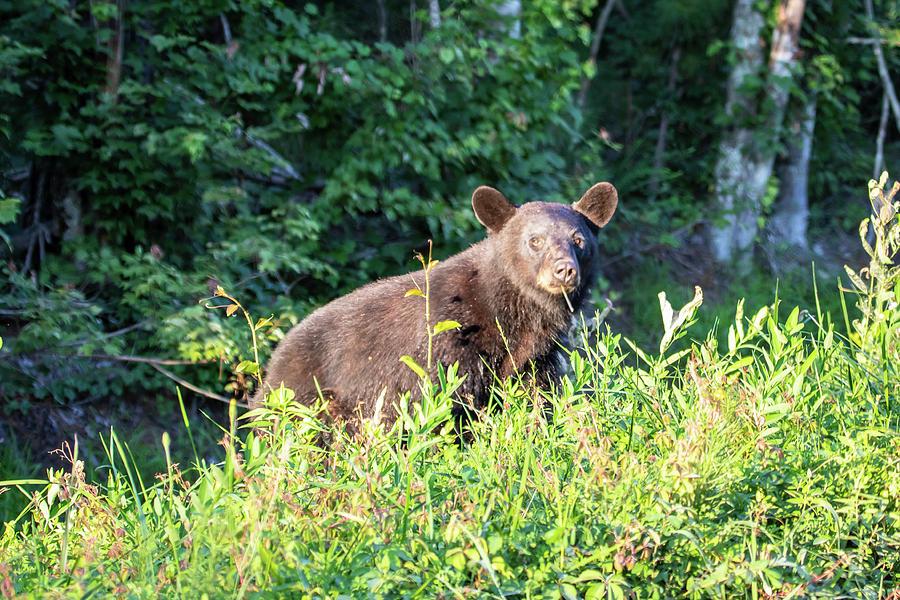 Country Bear Photograph