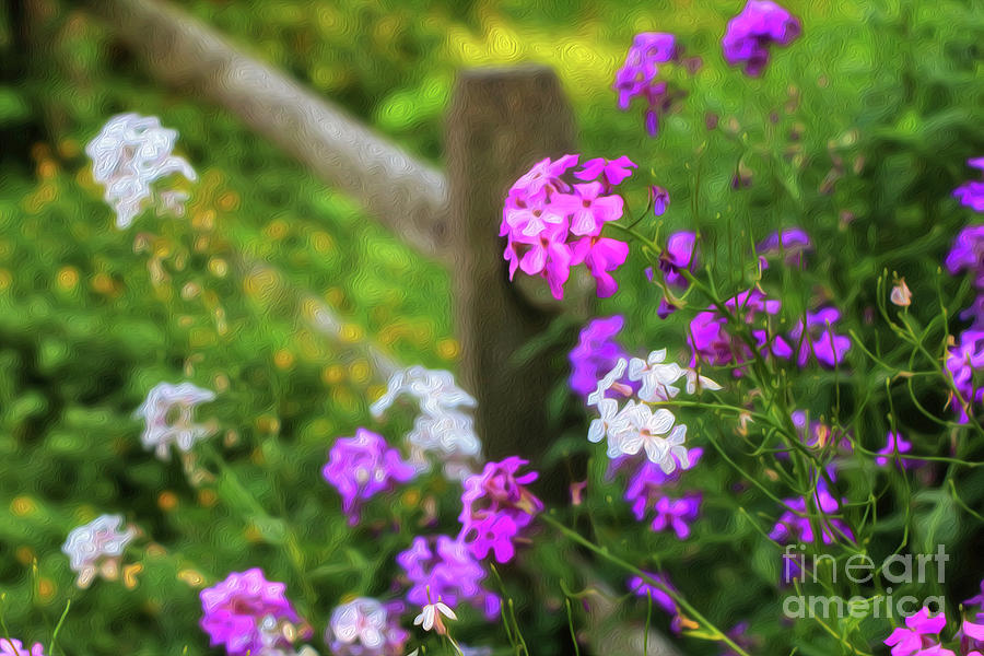 Country Phlox Oil Painting Photograph