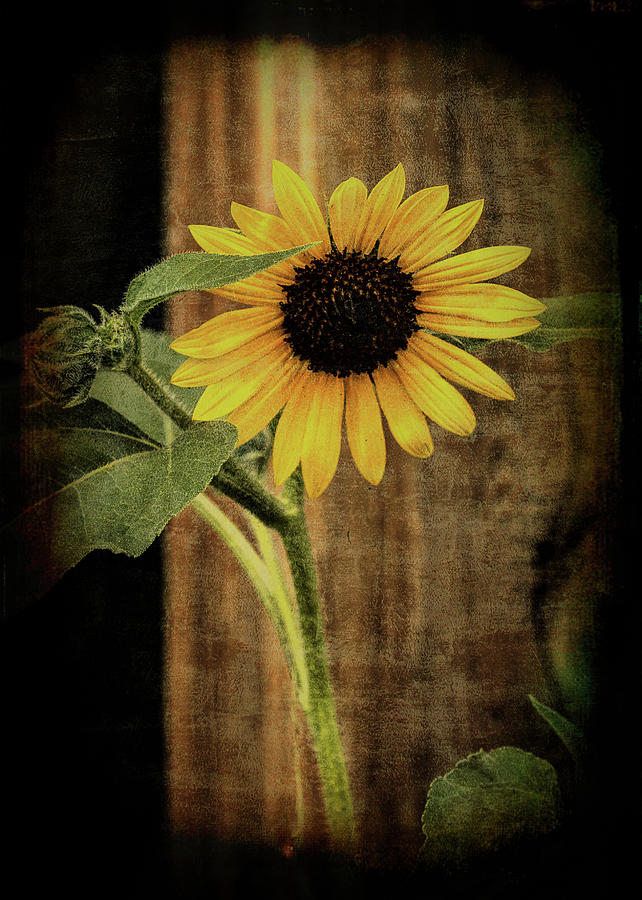 Country Sunflower by Vicki Stansbury