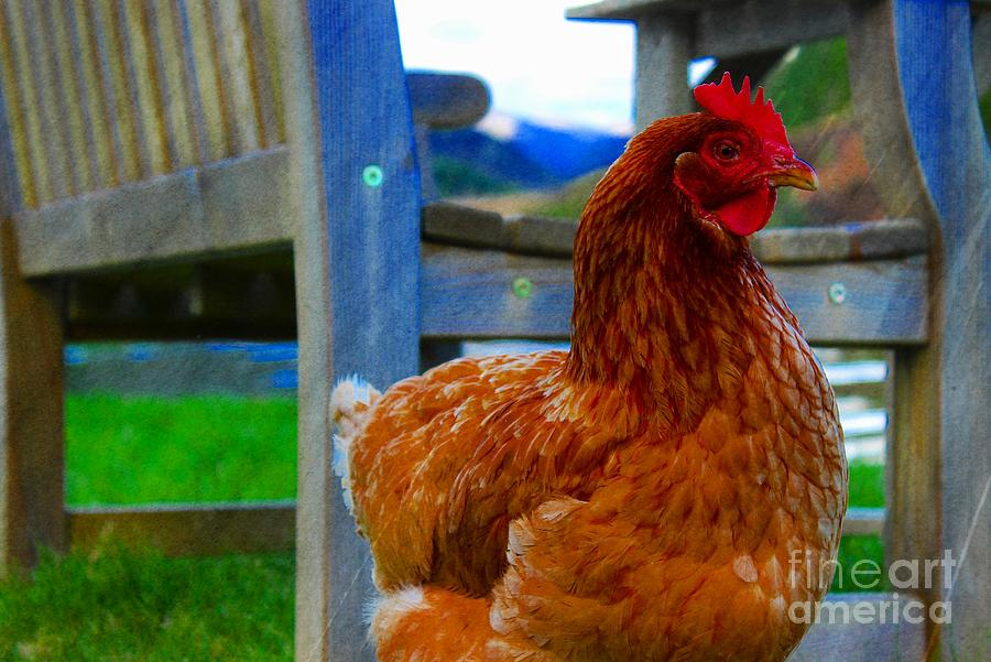 Countryside Chicken Photograph