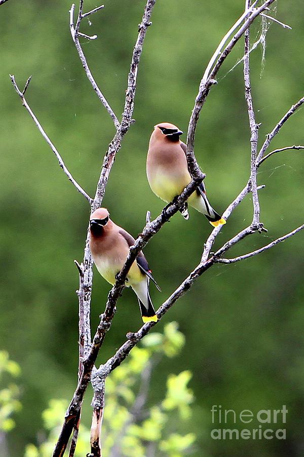 Cedar Waxwing Photograph - Couple Cedar Waxwing by Marle Nopardi