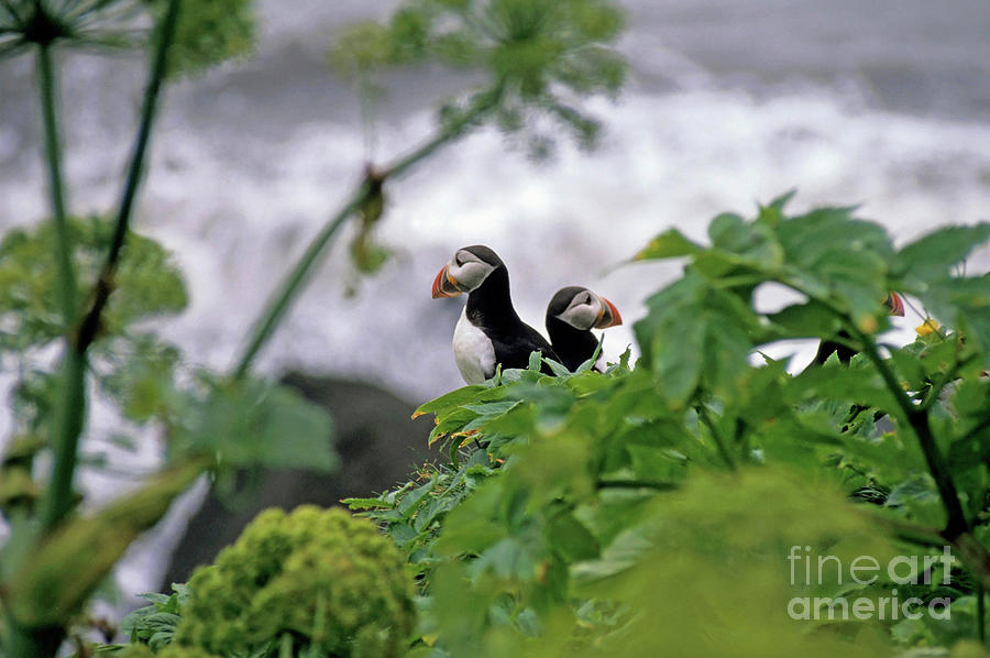 Adorable Photograph - Couple Of Puffins Perched On A Rock by Sami Sarkis