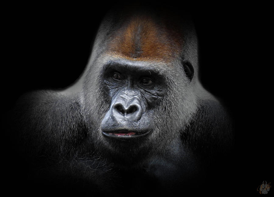 Silverback Photograph - Cousin, No. 43 by Elie Wolf