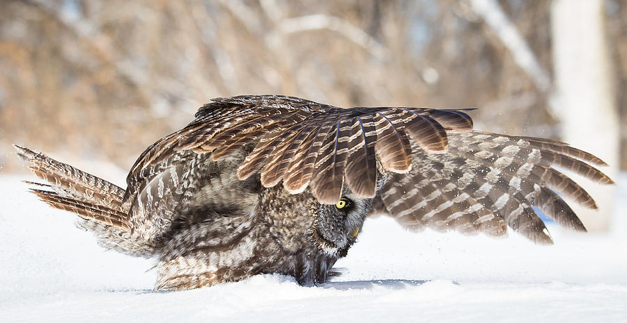 Great Grey Owl Photograph - Cover by Michelle Lalancette
