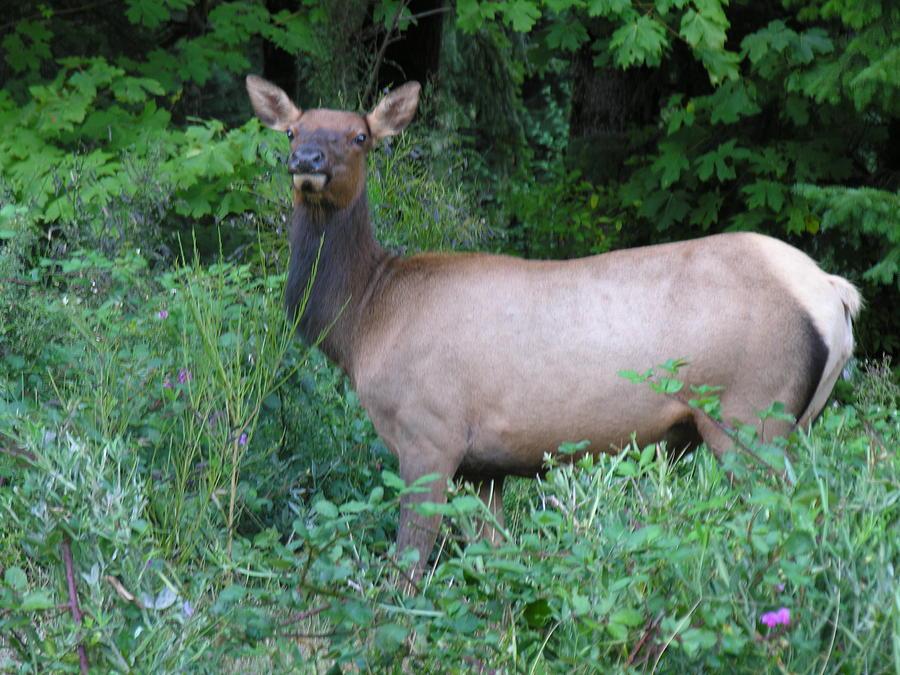 Elk Photograph - Cow Elk by Mel Crist