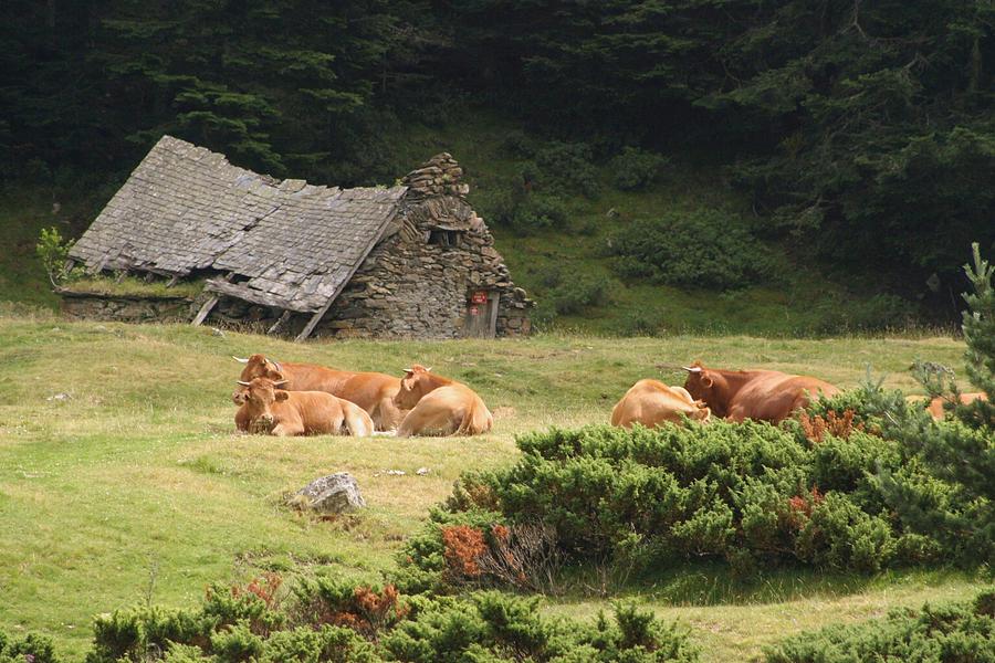 Cow Photograph - Cow Family Pastoral by Dagmar Batyahav