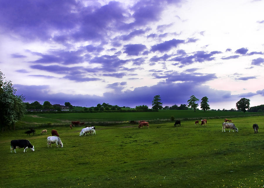 Cow Field Photograph