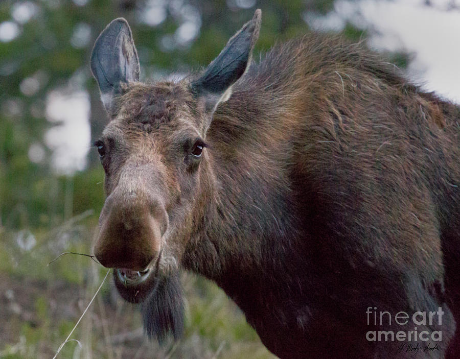 Moose Photograph - Cow Moose-signed-#4036 by J L Woody Wooden