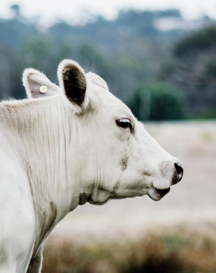 Cow Portrait  by Naomi Burgess