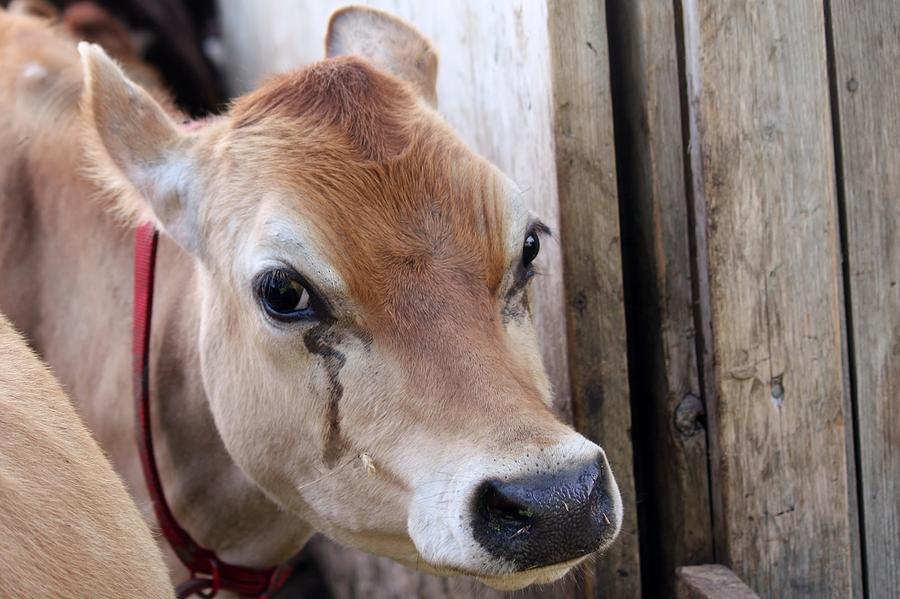 Cow Canvas Print Photograph - Cow Tear by Bonnie Brann