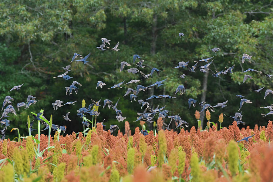 Shiloh Photograph - Cowbirds in flight over milo fields in Shiloh National Military Park by WildBird Photographs