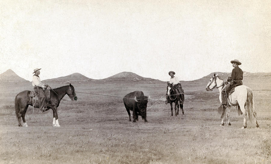 1880s Photograph - Cowboys, Roping A Buffalo by Everett