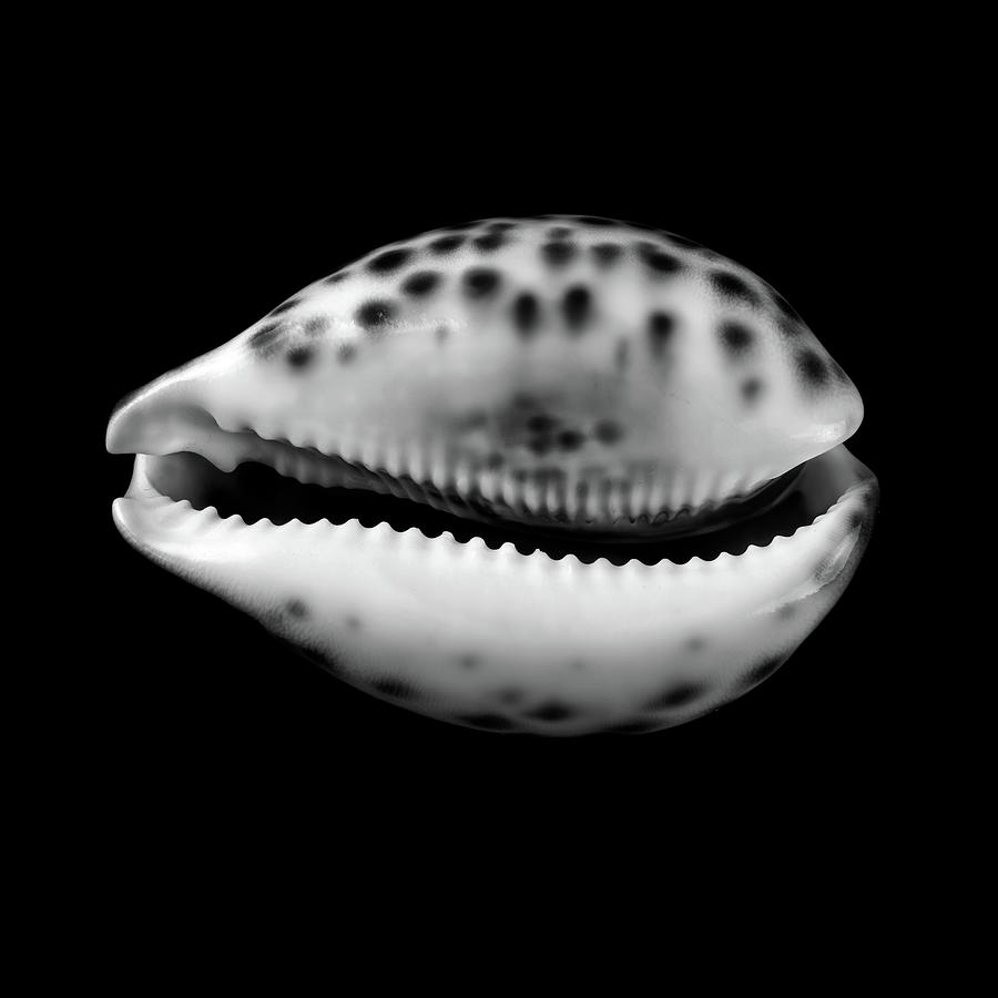 Cowry shell in black and white by jim hughes