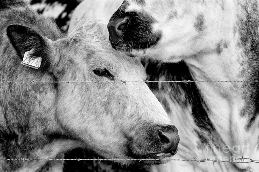 Cows Behind Barbed Wire Photograph