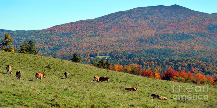 Cows Photograph - Cows Enjoying Vermont Autumn by Catherine Sherman