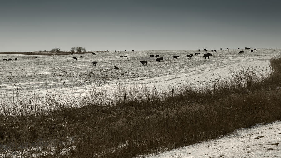 Cows in a Snow Covered Field Nebraska by Art Whitton