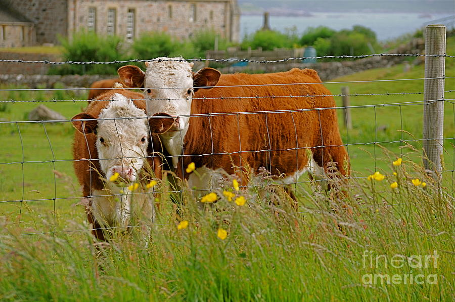 Cow Photograph - Cows In Iona by Louise Fahy