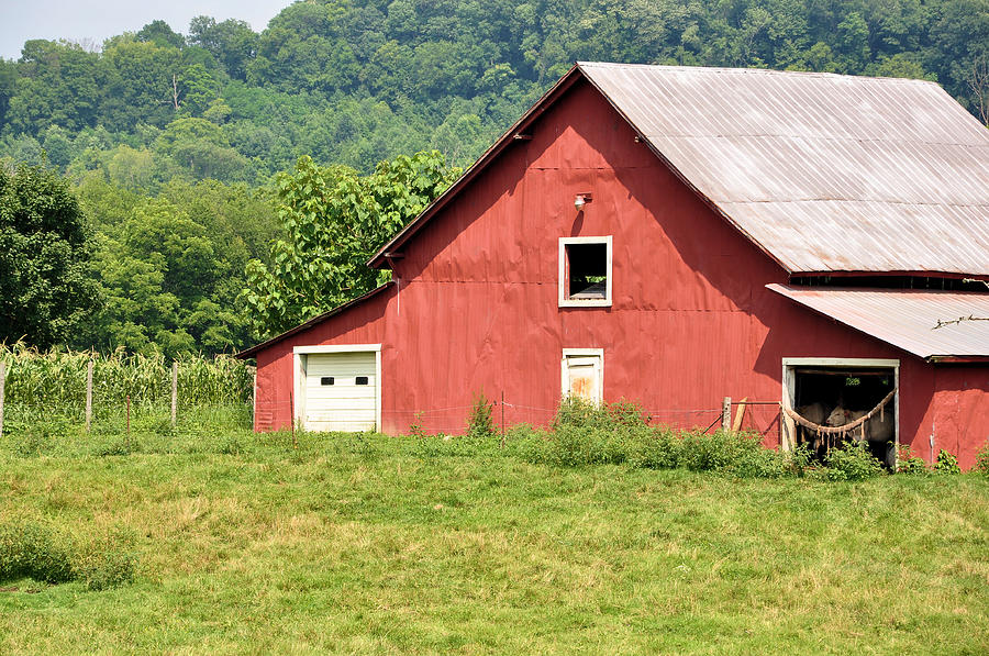Farms Photograph - Cows In The Barn by Jan Amiss Photography