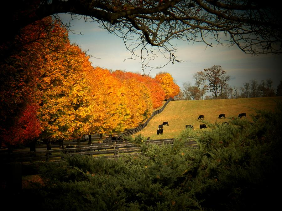 Autumn Photograph - Cows In The Meadow by Joyce Kimble Smith