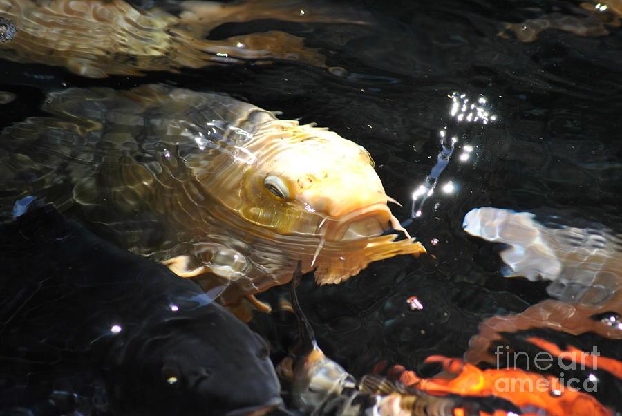 Fish Photograph - Coy Koi by Frank Larkin