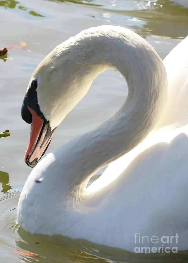 Coy Photograph - Coy Swan by Carol Groenen